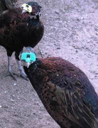 jumbo ringneck pheasant
