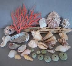 where to buy seashells 51 best sea shells images on clam shells and