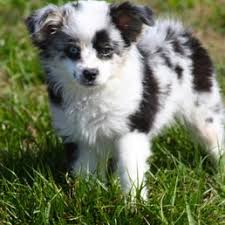 australian shepherd gray quality toy and miniature australian shepherds pet breeders