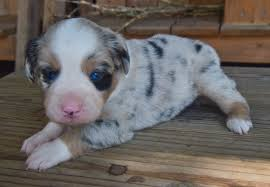 australian shepherd with tail for sale wisdom kennels new orleans louisiana miniature australian