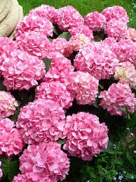 how do i change the color of my hydrangea flowers gardening