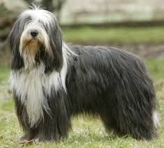 bearded collie x terrier bearded collies what u0027s good about u0027em what u0027s bad about u0027em