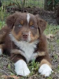 australian shepherd fur red tricolor australian shepherd puppy aussie dogs pinterest