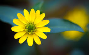 yellow flowers yellow flowers hd 1 wide wallpaper hdflowerwallpaper