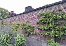 fruit walls urban farming in the 1600s low tech magazine