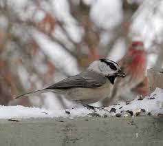 common birds to visit your feeder u2013 naturally north idaho