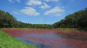 flood day at a bourne cranberry bog youtube