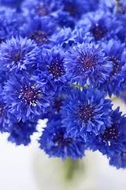 the cornflower aka centaurea cyanus a striking blue summer
