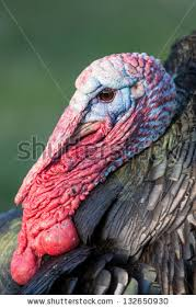 turkey up turkey closeup stock images royalty free images vectors