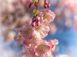 free picture branch flora nature cherry tree flower tree