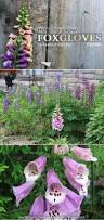 how to grow foxgloves romantic gardens and flowers