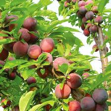 methley plum plum trees stark bro s