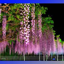 Fragrant Climbing Plants - aliexpress com buy 100 ture heirloom pink wisteria flower seeds