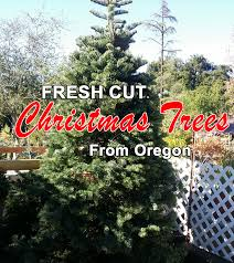 christmas trees have arrived fresh from oregon at alpine garden