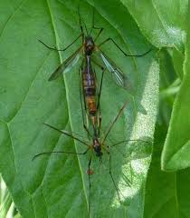 insects of scotland craneflies