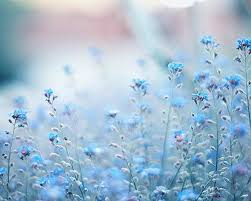 light blue flowers eletragesi blue flowers background images