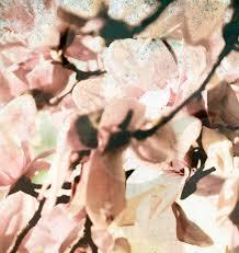 surrounded 8 x 10 fine art photograph magnolia tree photography