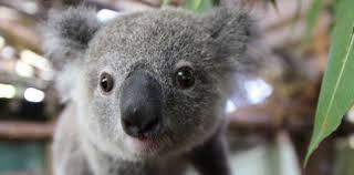 imagenes animales australia 10 animales recién nacidos más bonitos de australia