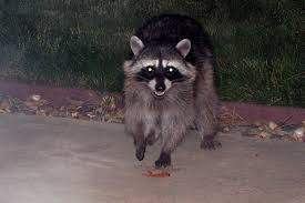 morris raccoons skunk team up u2013 the mercury news
