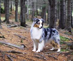 movies with australian shepherds in them our dogs víkur australian shepherds top australian shepherds