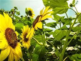 lemon queen sunflower seeds baker creek heirloom seeds