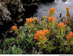 indian paintbrush flower indian paintbrush a hardy plant yet to grow sfgate