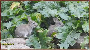 wild baby rabbits so cute wildlife in my backyard youtube