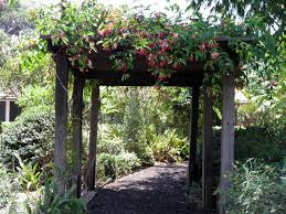 pergola with rangoon creeper climbing plants asian climbing