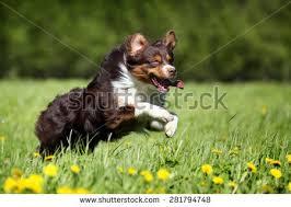 running with australian shepherd puppy australian shepherd stock images royalty free images u0026 vectors