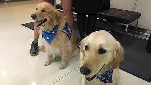 Comfort Golden Chicago Comfort Dogs Arrive In Orlando Abc7news Com