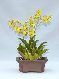 oncidium orchid oncidium orchids ideal indoor orchids