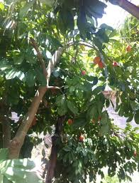 Ackee Fruit Tree - jamaican ackee jamaican style cooking