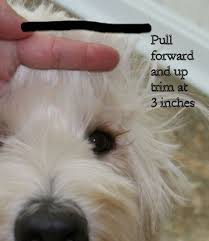 how to cut a goldendoodles hair labradoodle grooming at rainmaker ranch dog grooming pinterest