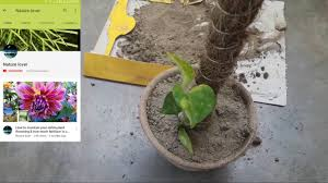 how to pot money plant with coir stick best or easy way to grow