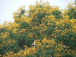 happiness all around us flowering trees in india