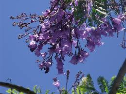 For A Tree Growing Jacaranda Trees How To Plant And Care For A Jacaranda Tree