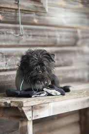 affenpinscher coat type the affenpinscher is a small dog with a harsh shaggy coat and