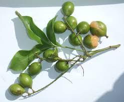 canapes fruit melicoccus bijugatus