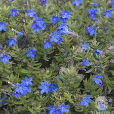 plante vivace soleil lithodora diffusa u0027heavenly blue u0027 bleu d15 autres marques