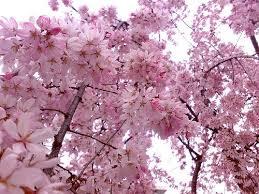 Japanese Flowers Pictures - 70 best beautiful sakura the flowering cherries of japan images