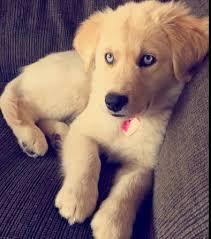 australian shepherd x golden retriever 19 mixed breed dogs you won u0027t believe are real