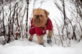 affenpinscher vs brussels griffon brussels griffon dog breed information