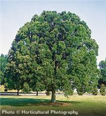 overcup oak tree on the tree guide at arborday org