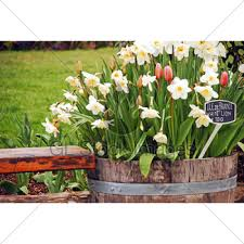 tulip barrel planter gl stock images