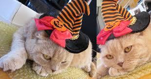 Kitten Halloween Costume Halloween Pet Costumes Scottish Fold Cat Wearing Witch U0027s Hat