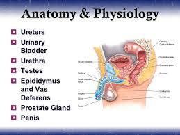 Urinary Bladder Anatomy And Physiology Urology U0026 Nephrology Sections Anatomy And Physiology