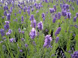 types of purple ten ways to relax with lavender dried flower crafts