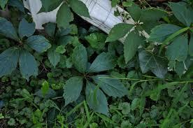 maryland native plant society superoceras backyard botany native maryland vines