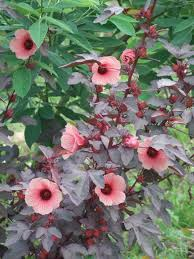 native plant seeds for sale cranberry hibiscus edible plant project