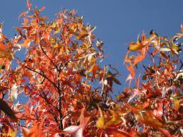 autumn leaves in june
